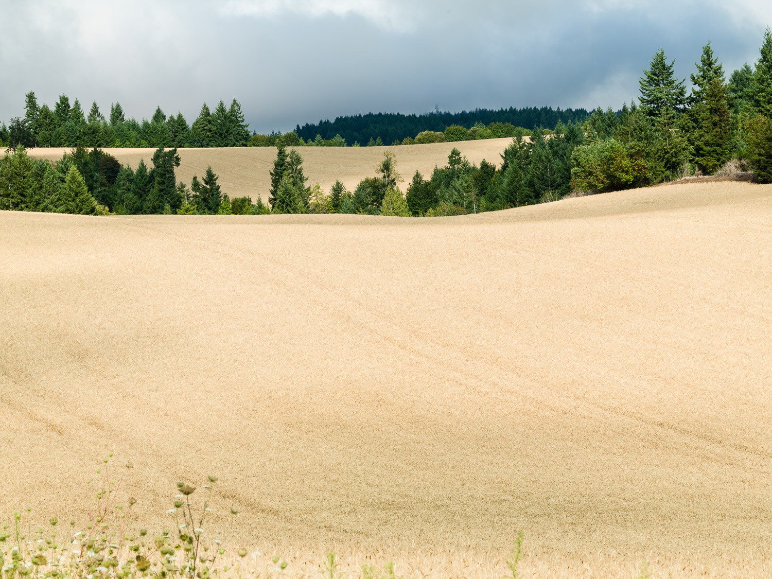 Wheat field before harvest on Three Feathers Estate, Chehalem Mountains AVA, Oregon, USA.