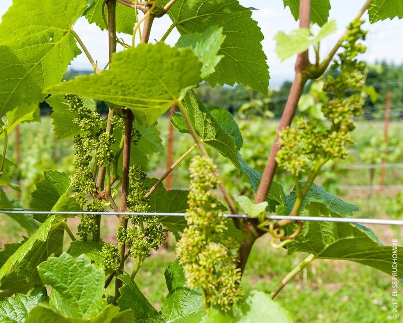 Blooming inflorescence on Pinot Noir vines at Three Feathers Estate & Vineyard.