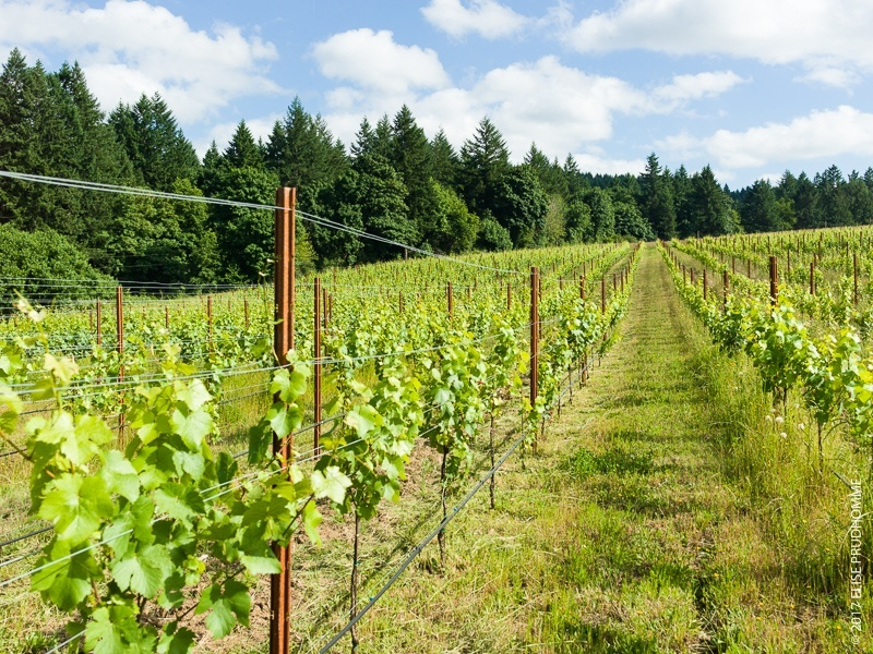 Vines as far as the eye can see at Three Feathers Estate & Viney