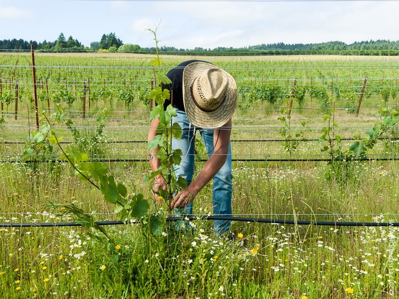 Vineyard team member wearing the indispensable straw hat tying up Pinot Gris plants to promote strength on Three Feathers Estate & Vineyard.