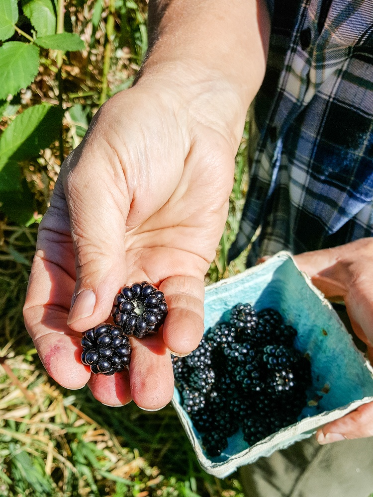 Close-up of hands picking blackberries on Three Feathers Estate & Vineyard