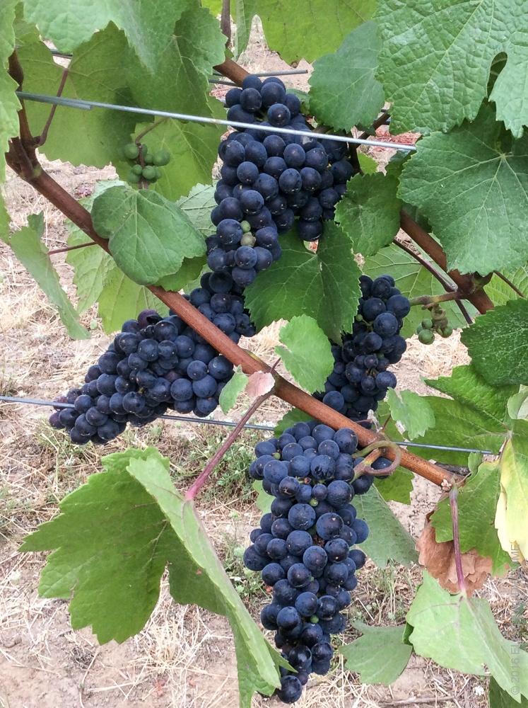 Mature 2017 Three Feathers Estate Pinot Noir grape clusters on the vine at Three Feathers Estate & Vineyard, Chehalem Mountain, Oregon.