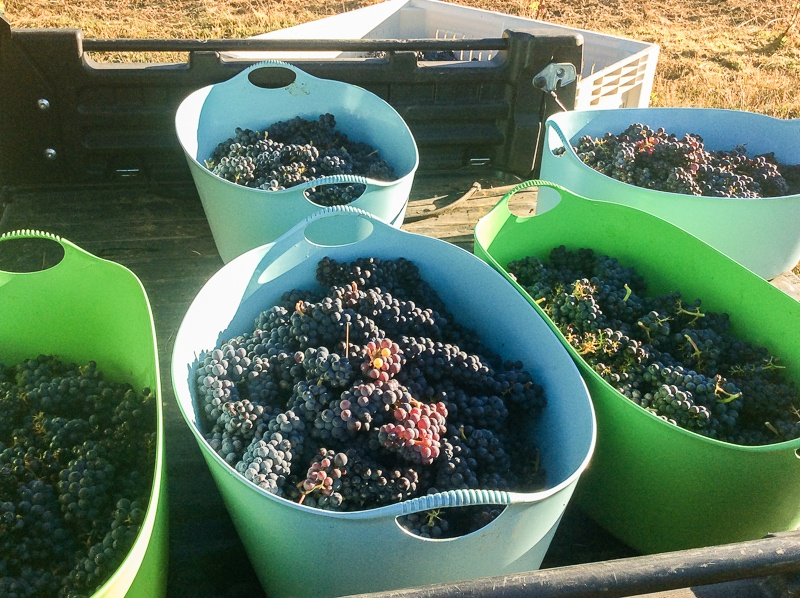 Pinot noir grapes just harvested at Three Feathers Vineyard in the Willamette Valley of Oregon.