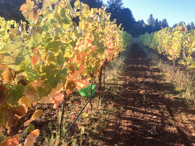 Rows of Grape Vines in Rolling Hills of Three Feathers Vineyard, Chehalem Mountain, Oregon, Morning Light in Fall Season