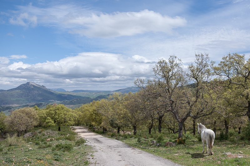 A horse wanders in a grove of cork trees in the valley of Ronda, Andalusia, Spain.