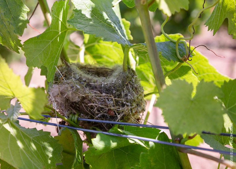 Bird nest discoveries are becoming common on Three Feathers vineyard.