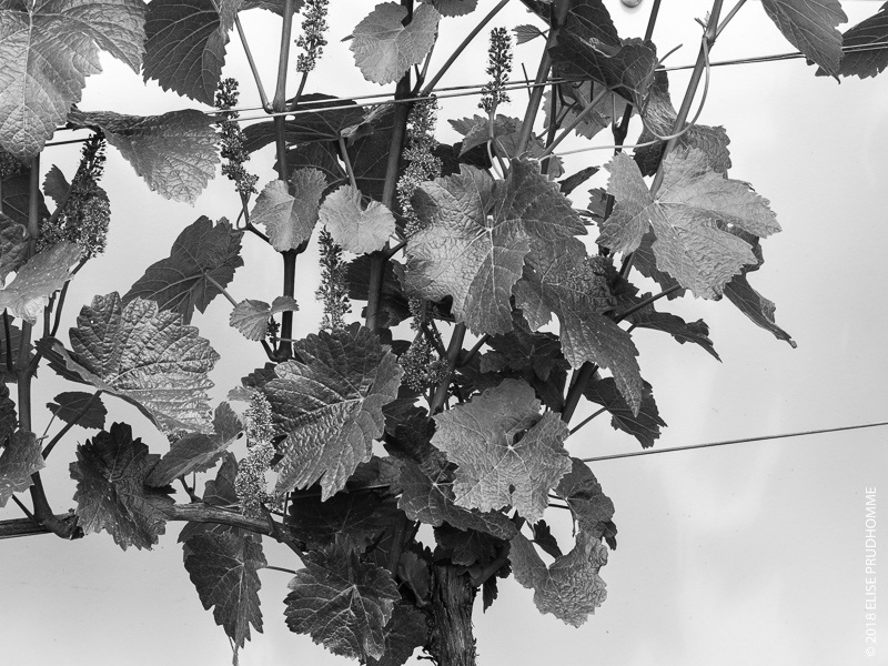 Bloom on vines at Three Feathers Estate & Vineyard