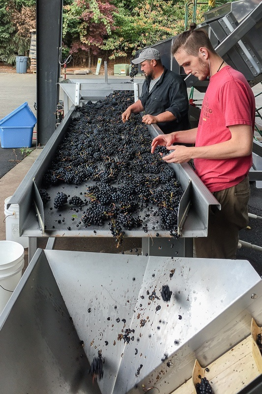Cellar Master, Tony, and colleague hand-sorting Pinot Noir grapes before de-stemming at Lady Hill Winery, Saint Paul, Oregon.