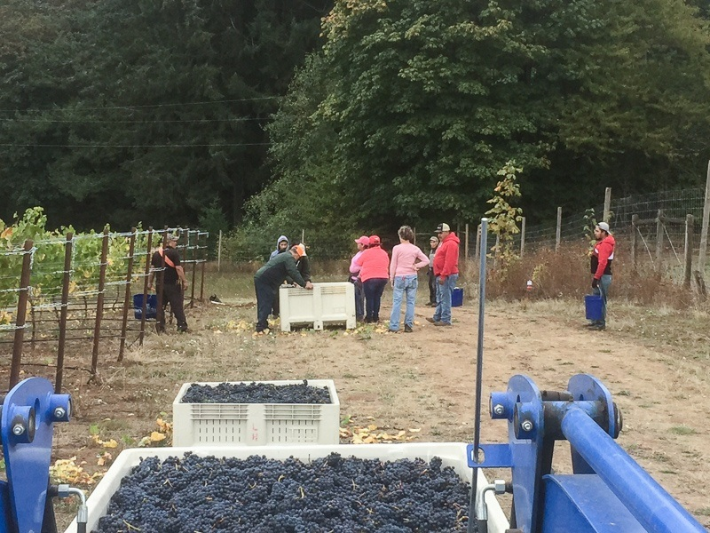 Professional grape picking team gathers during harvest day at Three Feathers Estate & Vineyard, Willamette Valley, Oregon.