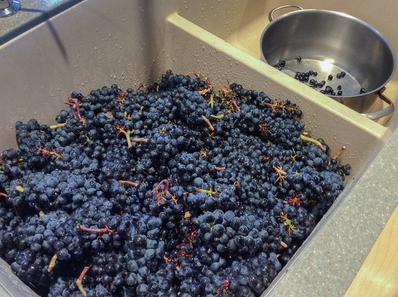 Ripe Pinot Noir grapes, Precoce clone, to be made into jelly