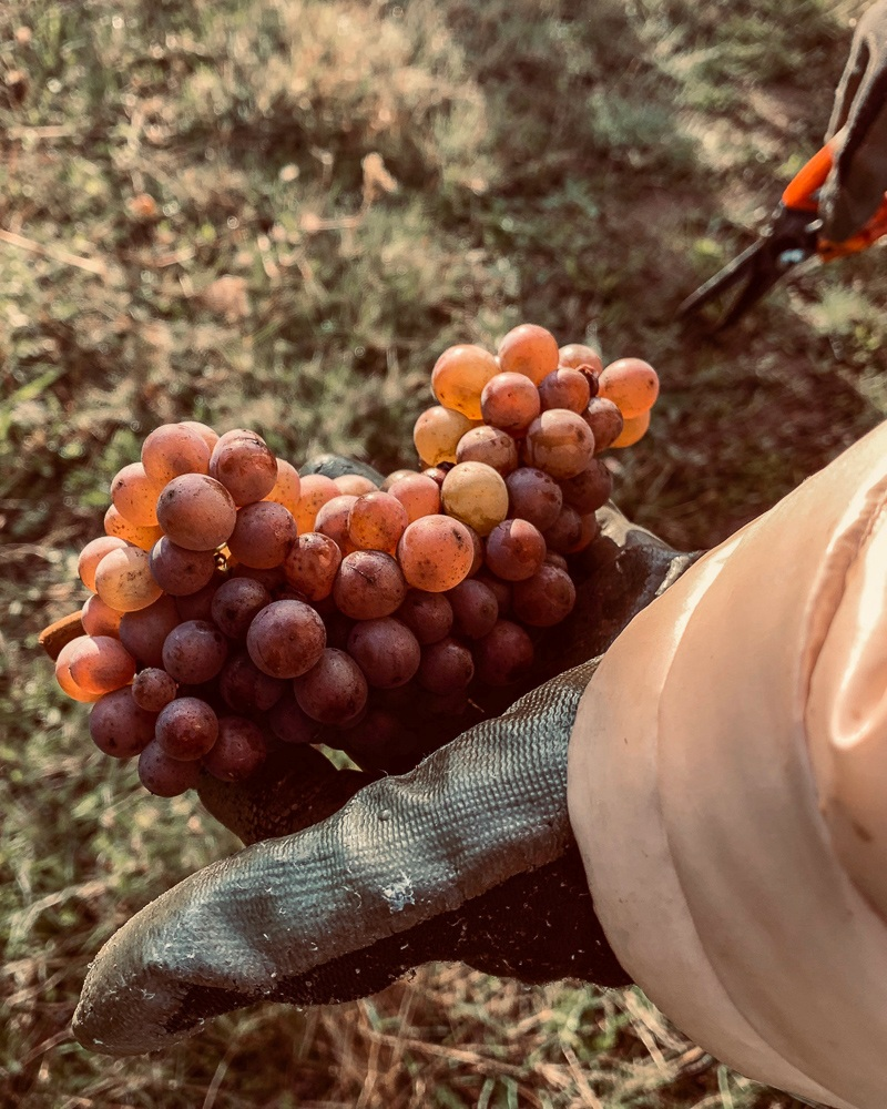 Harvesting 2019 Pinot Gris clone at Three Feathers Estate.  Harvesting our 2019 grapes, Pinot Noir and Pinot Gris.