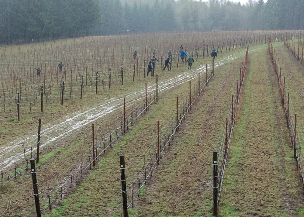 Pruning Torio Vineyard in the rain on January 29, 2020.