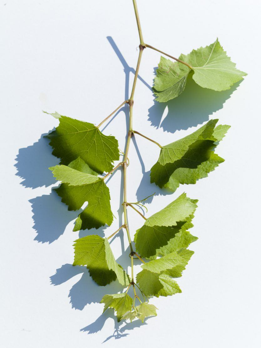 A branch of Pinot Noir vine, during it's full growth phase at Three Feathers Estate.