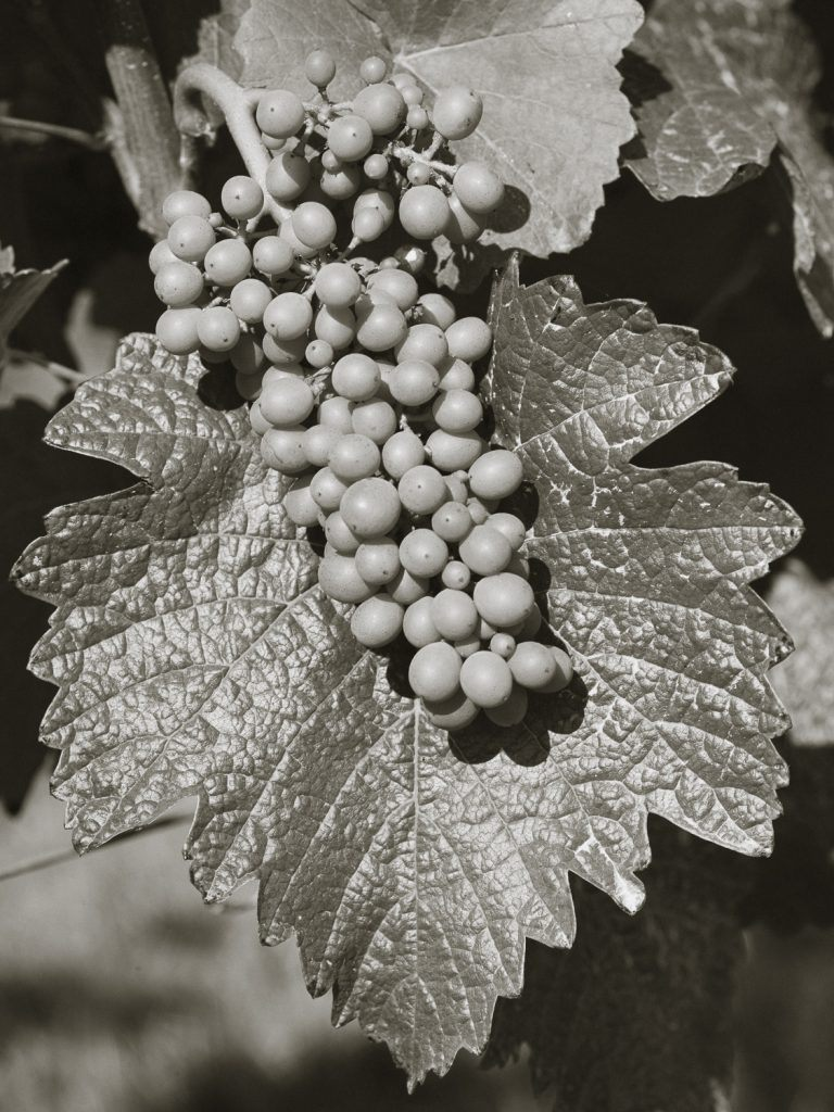 A black and white still life of a cluster of Pinot Noir, Pommard clone, during it's full growth phase at Three Feathers Estate.