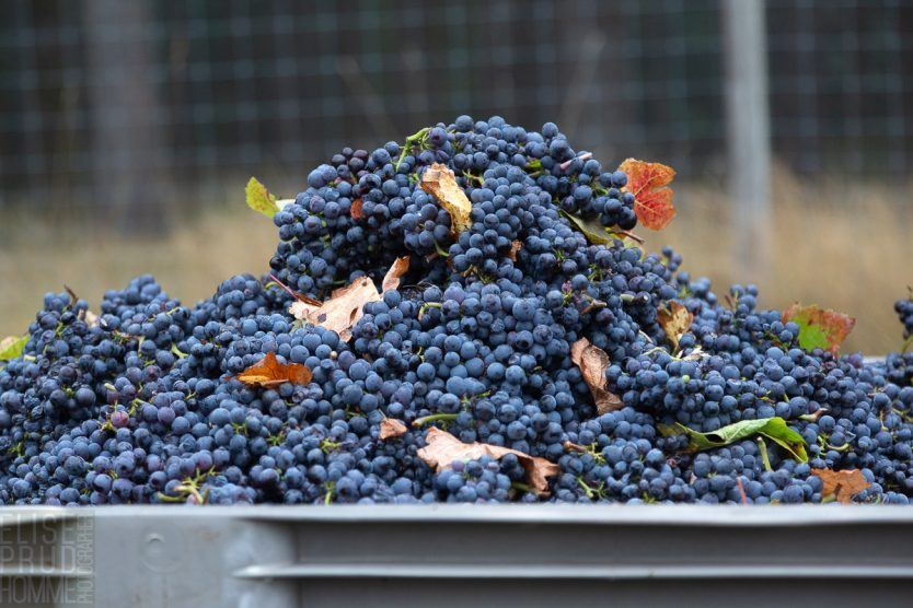 Dijon clone Pinot Noir overflowing from bins at Three Feathers Harvest 2020