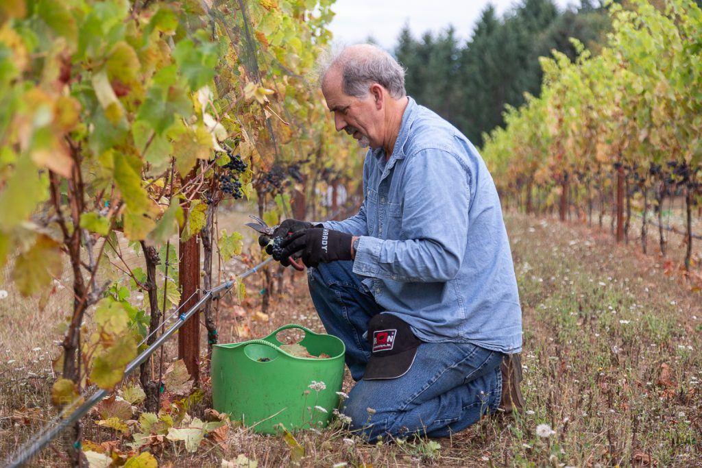 Harvest helper Chris Hunt working in the Précoce.