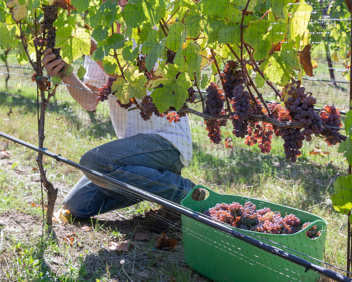 First time harvesting Block 3 of our Pinot Gris.