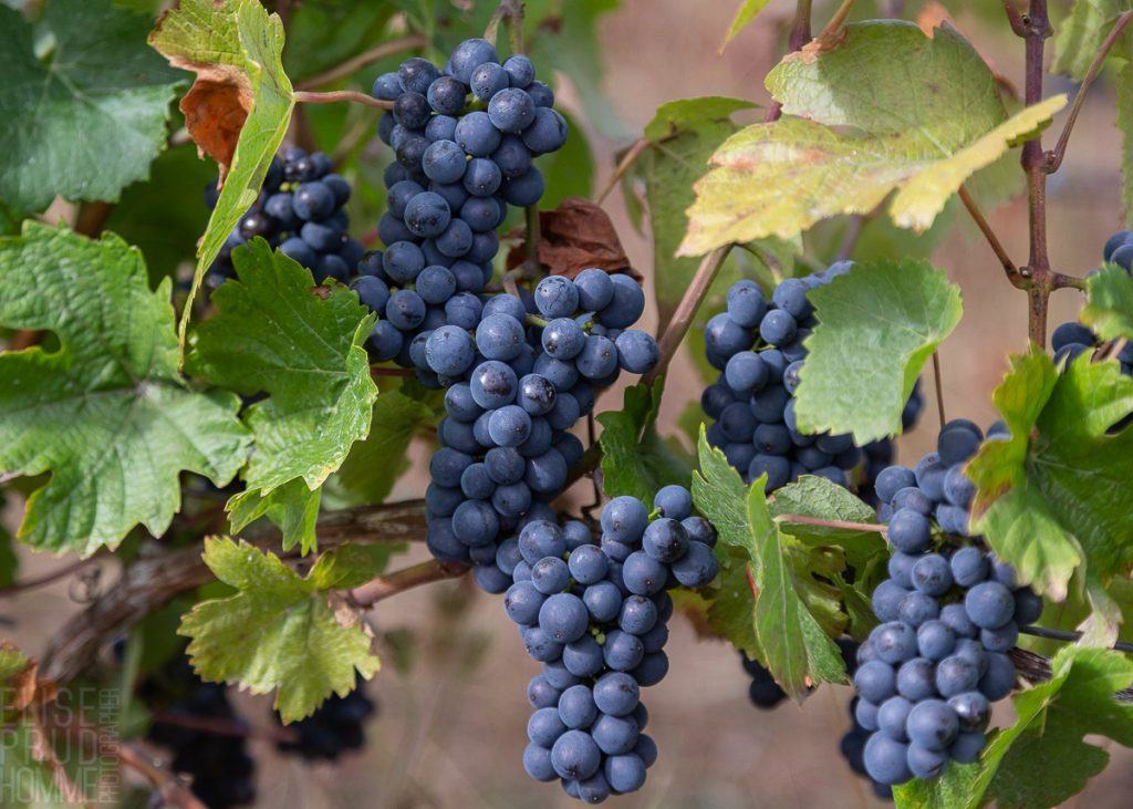 Pinot Noir Précoce varietal at Three Feathers Estate just befor