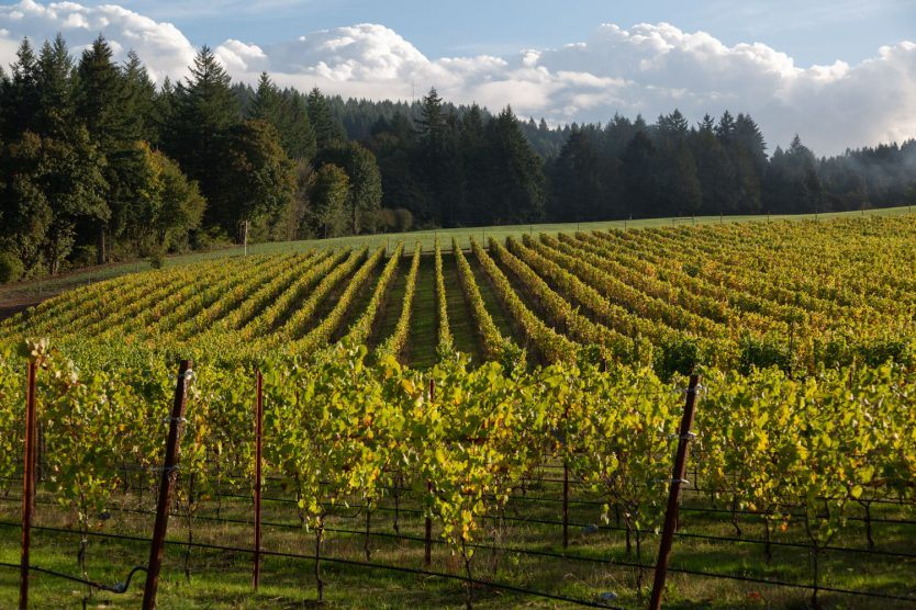 Beautiful overview of Block 1 at Three Feathers Vineyard during Harvest 2020